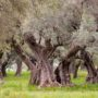 The Olive Culture