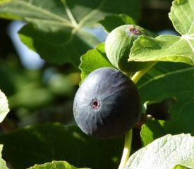 Figues et autres produits