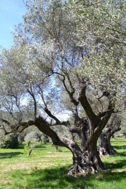 L'oliveraie du Partégal